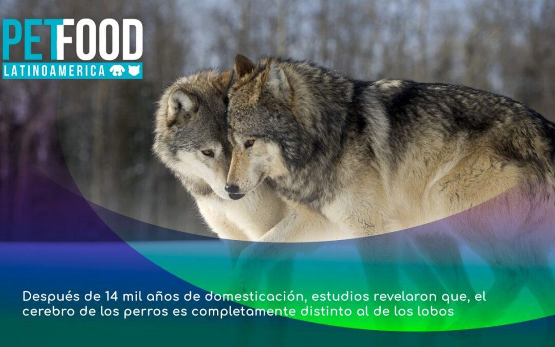 Después de 14 mil años de domesticación, estudios revelaron que, el cerebro de los perros es completamente distinto al de los lobos